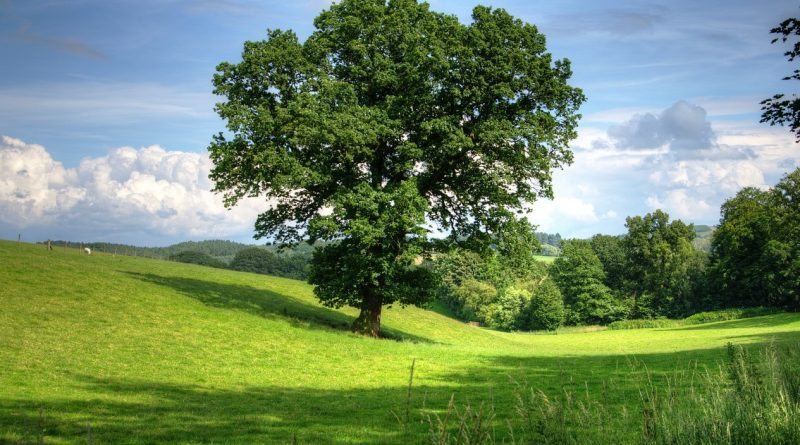 krajobraz, sadzenie dębu
