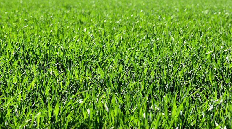 Ładna zielona trawa